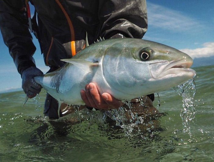 Saltwater fly fishing for Yellowtail Kingfish - New Zealand